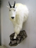 0158_-_mountain_goat